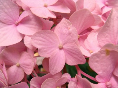 fiorellini-rosa-e1367336737793